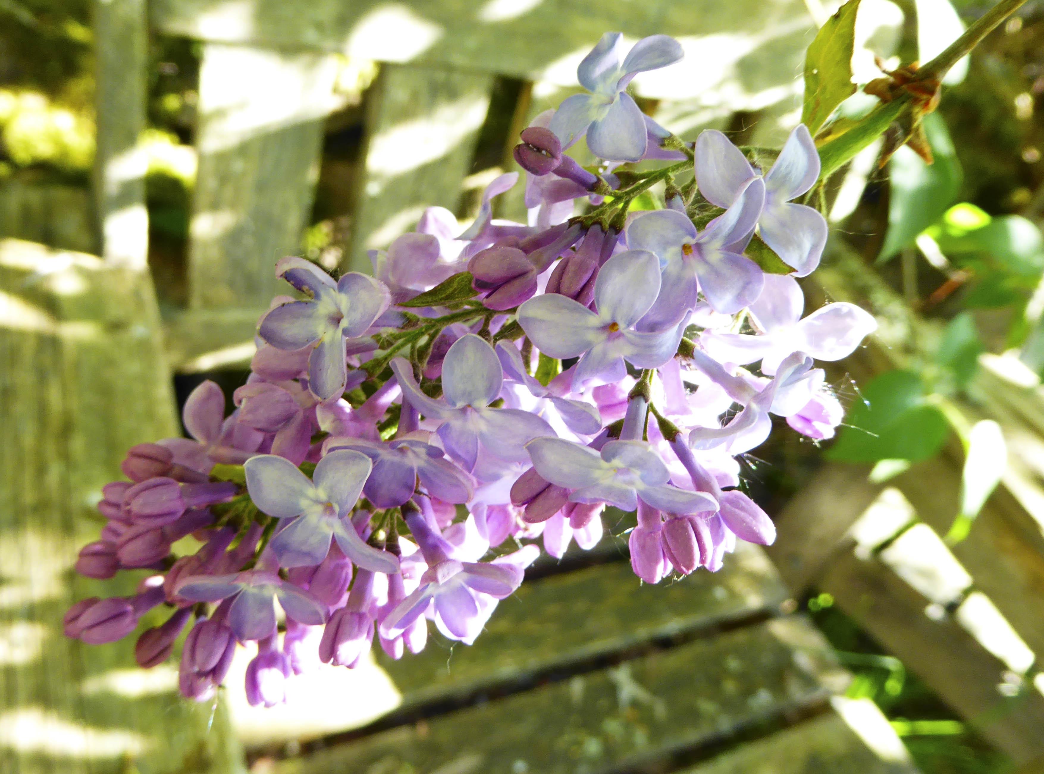 Lilac Days