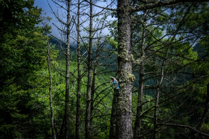 The pines above Kangding.