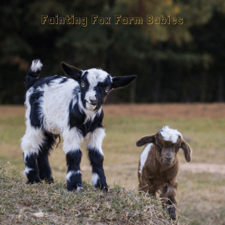 fainting-fox-farm-babies