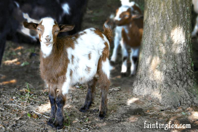 fainting goats