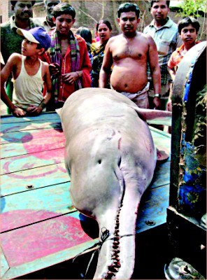 Fig.: This 150-kg Shushuk (Gangetic Dolphin) was caught by fishermen from the river Mahananda at Gobratola of Chapai Nawabganj and later sold at Tk 3,000 to a fish trade. Law prohibits catching, killing and trading of any endangered species. Photo: STAR