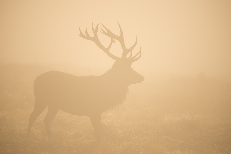 large stag silhouette in mist, bradgate park