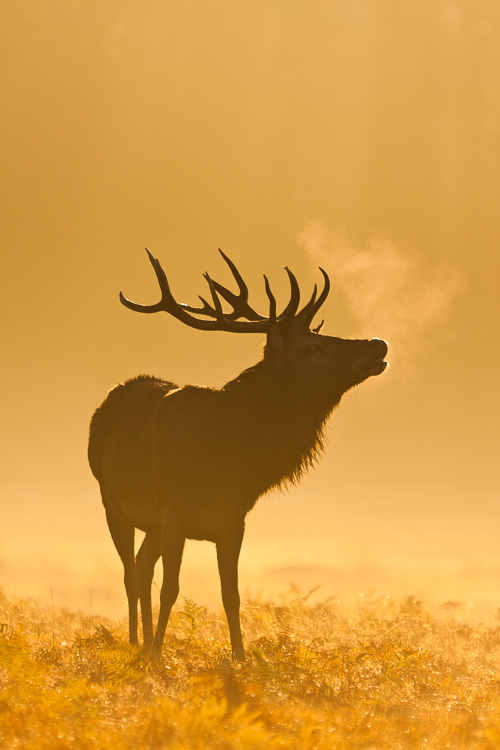 Large stag, autumn mist, during annual rut