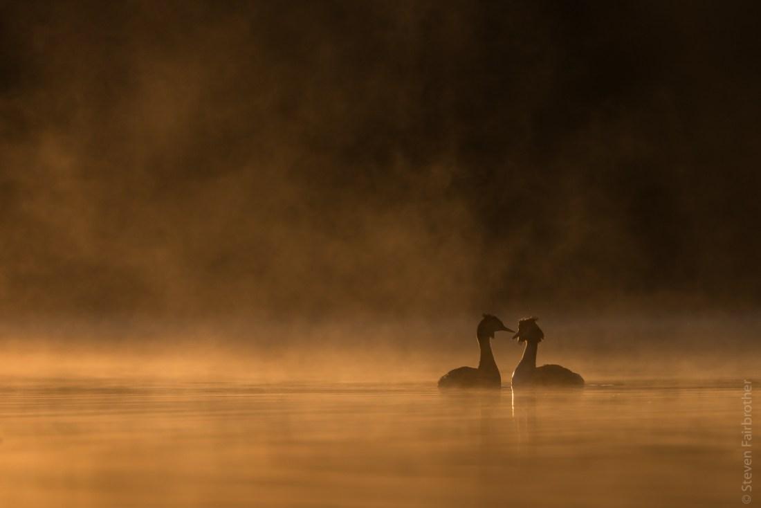 great crested grebe, wildlife camera club talk
