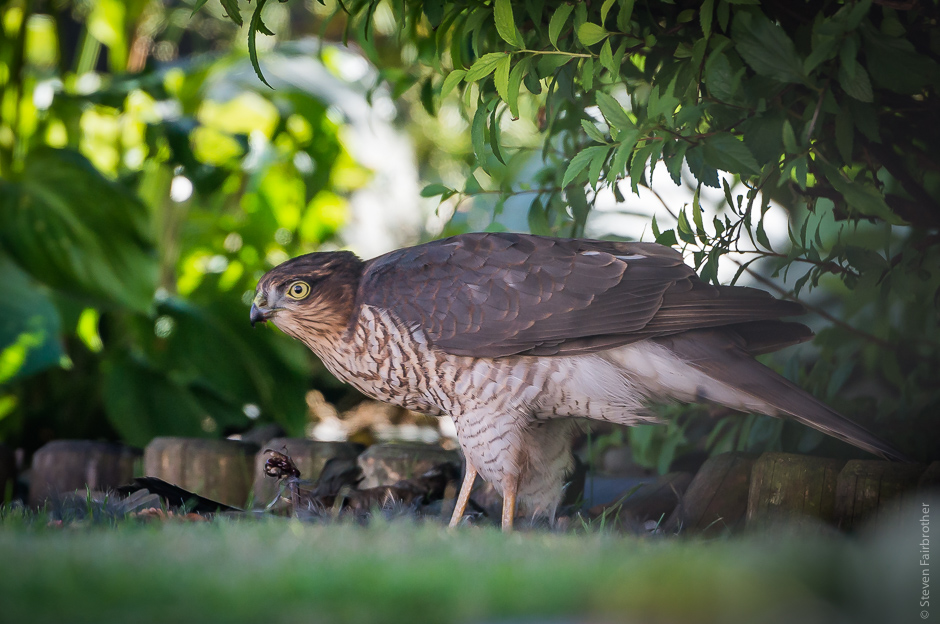 sparrowhawk_leicestershire