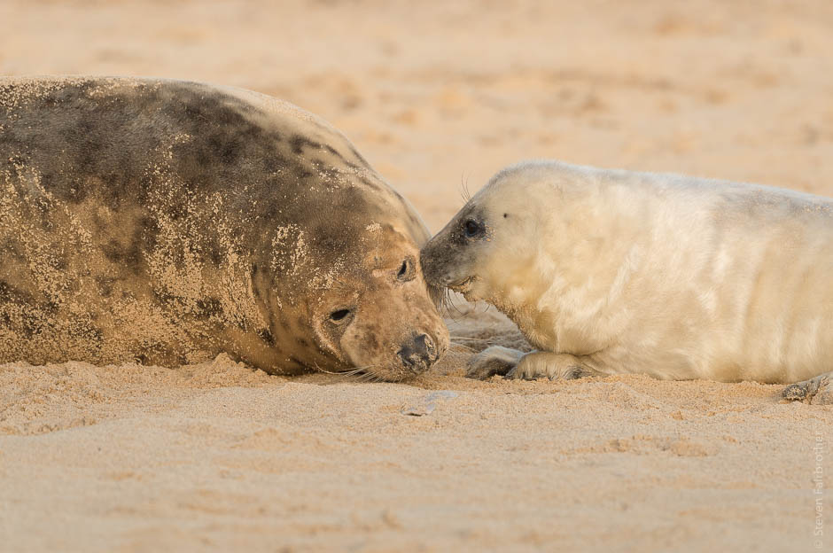 winterton-beach-seals-2016-01