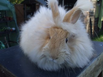 ethical-angora-rabbit