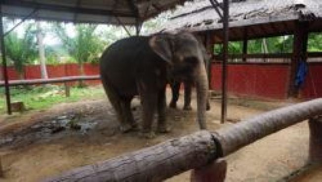 An Elephant in Koh Samui. Entertainment or disgrace?