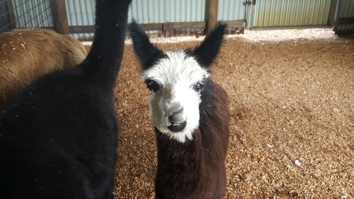 Lama at Caversham
