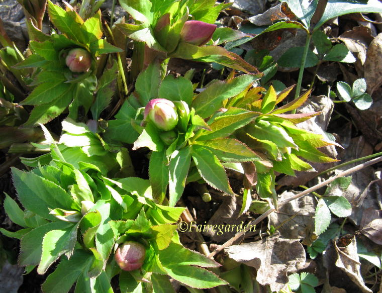 february-1-2009-hellebores-and-take-a-stand-004-2