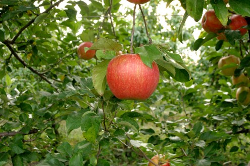 Zestar apple