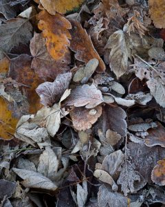 photo filled with fallen autumn leaves, covered with white frost