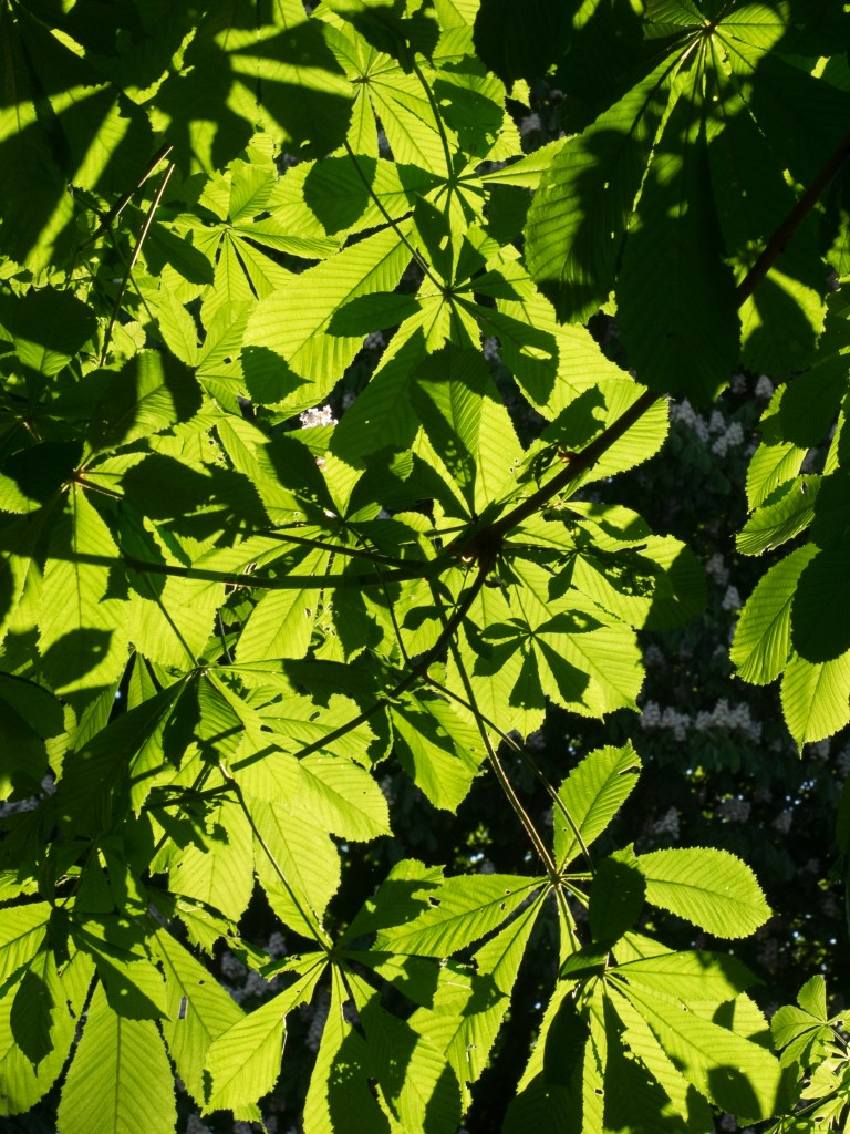 Chestnut leaves in sunshine