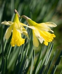 Two yellow daffodil blossoms, close up. Blossoms facing downwards, not fully open