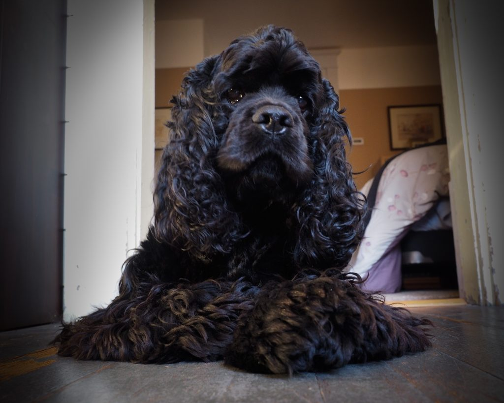 Louie, black American Cocker spaniel, trying to understand the camera
