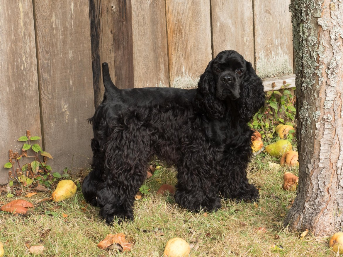 Black American Cocker Spaniel Louie outdoors