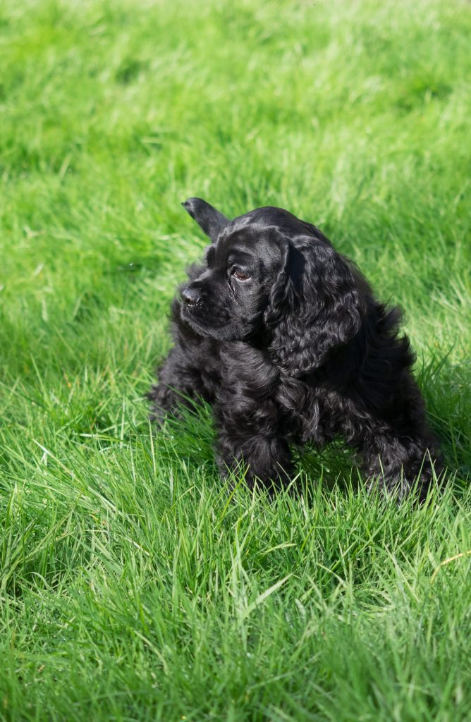 Black American Cocker Spaniel puppy dog Louie outdoors in long green grass