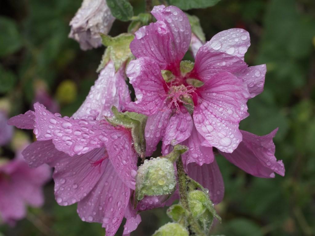 pink-flowers-in-rain