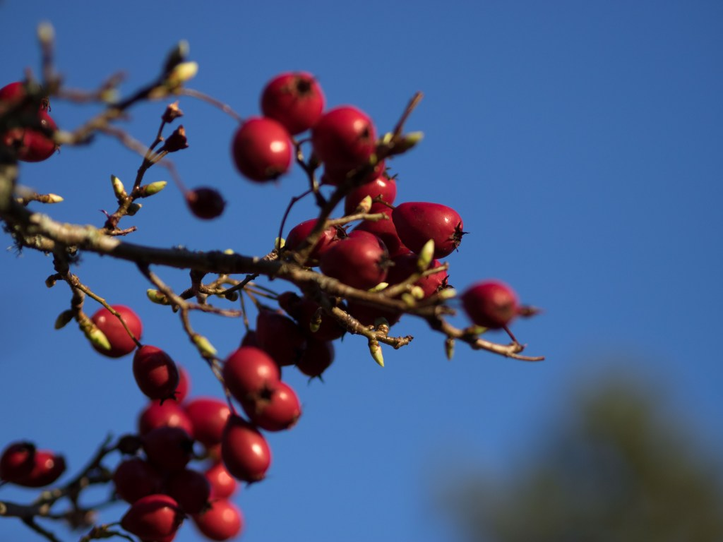 Close up of red berries on tree in spring against deep blue sky