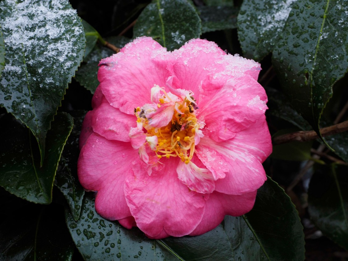 Pink camelia blossom, full on, with gold centre, with wet snow