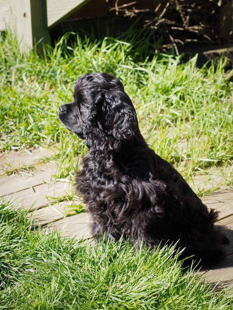 Black American Cocker Spaniel puppy sitting, in profile