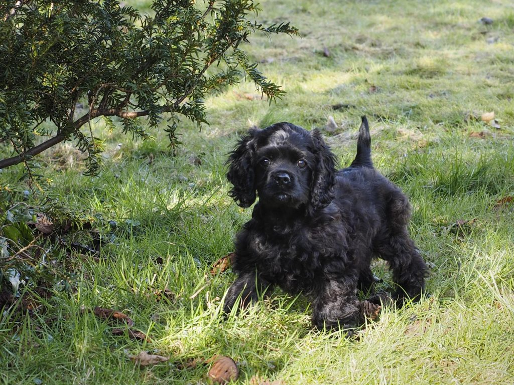 Black American Cocker Spaniel puppy outdoors in long green grass. Puppy is all black, standing alert and looking at the camera with her tail straight up