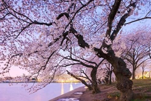 cherry-blossoms-e1377829106694