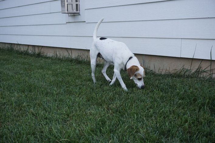 dog eating grass - organic & sustainable lawn care tips  |  Fairly Southern