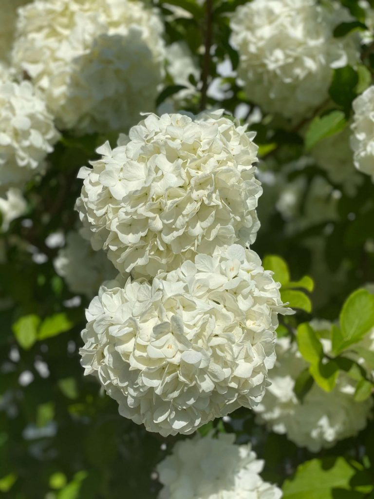 Snowball Bush blooms  |  Fairly Southern