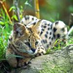 Types Of Cats: Domestic Wild Cat Hybrid Breeds