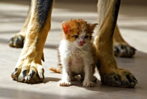 Big dog and kitten