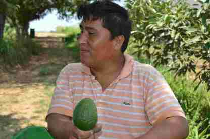 A worker proudly shows one of hundreds of avocados he picked that day