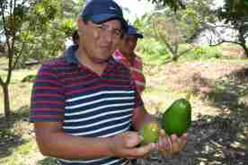 One of the workers showing the different varieties of avocado grown here