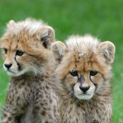 Cute cheetah cubs close up