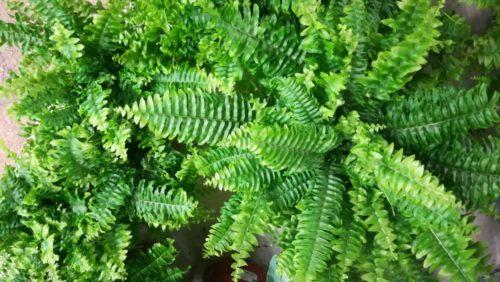 plante dépolluante fougère