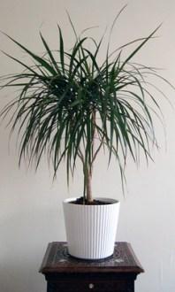 draceana marginata plante dépolluante