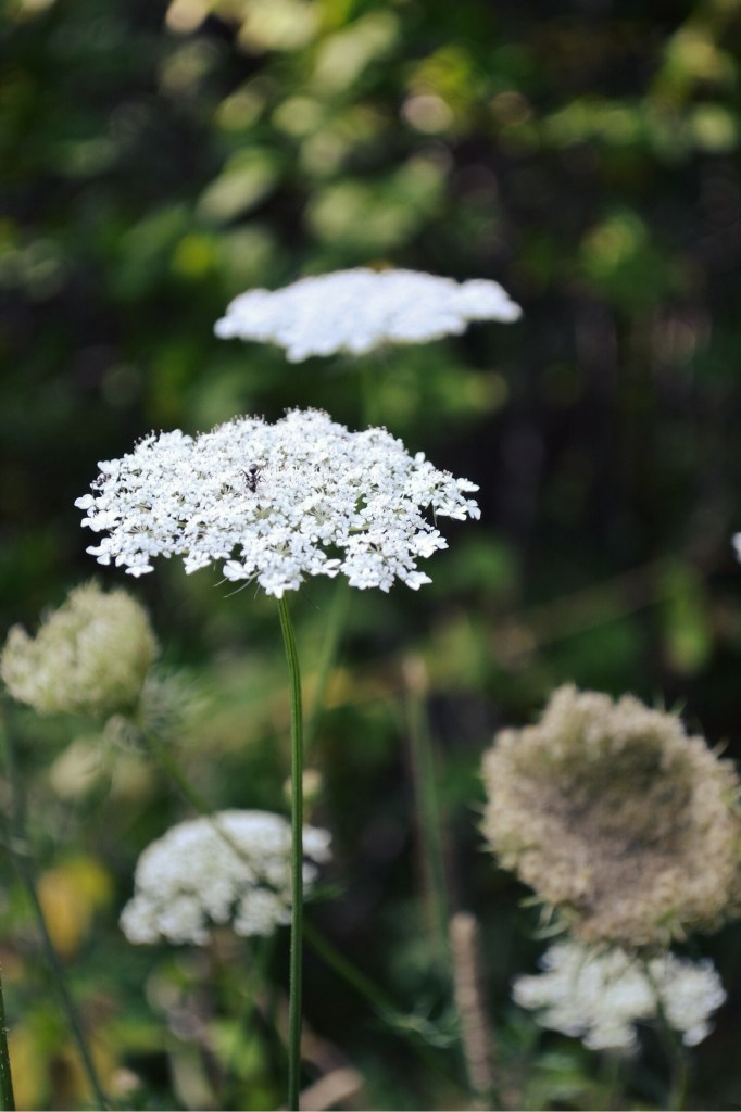 Queen Anne's Lace | Faith, Hope, Love, and Luck Survive Despite a Whiskered Accomplice