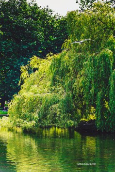 DUBLIN, IRELAND - 5th July, 2017: detail of a weeping willow tree over the lake at St Stephen's Green Park in Dublin city centre