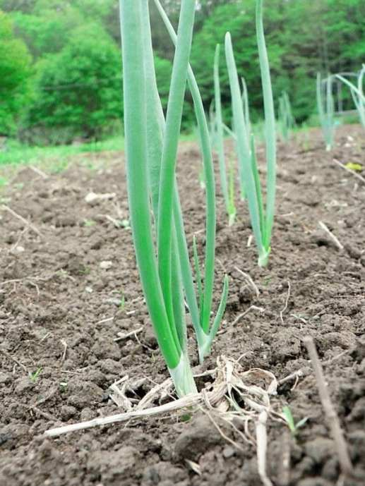 spring onions 2011