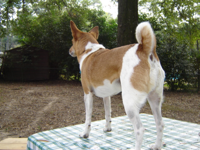 The Intelligence of the Basenji (2/2)