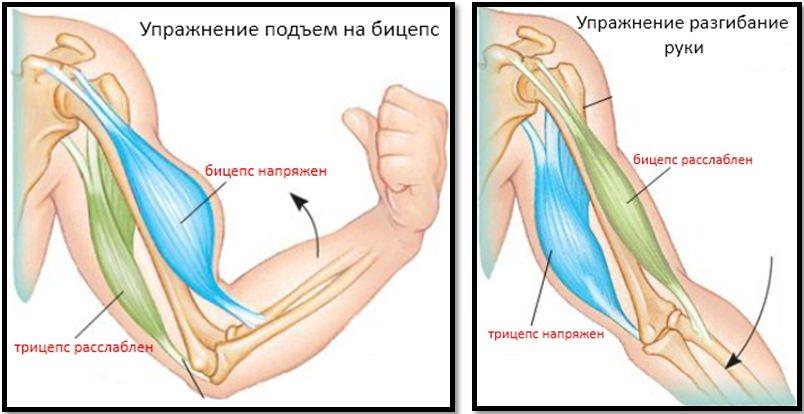 عضلات دست تشریحی