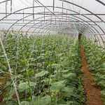 Овочі з теплиці: шкода чи користь