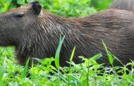 Prefeitura promove ação junto a Polícia Ambiental para apurar caça ilegal de capivaras