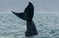 Começa a temporada de baleias no Litoral Norte