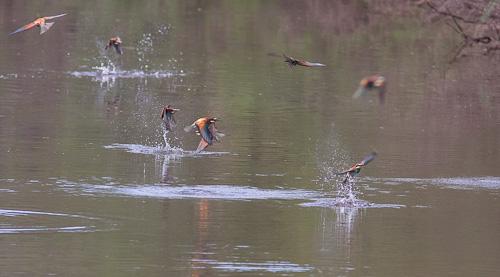 Fiskande flock av biätare