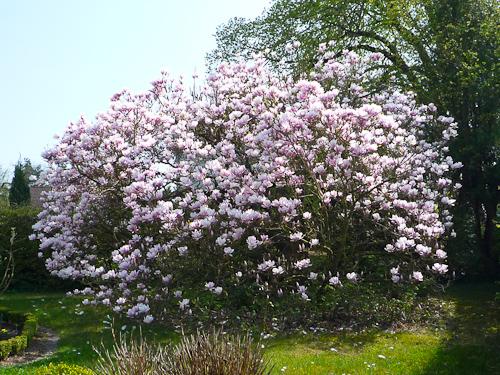 Blommand Magnoliaträd i byarna