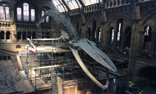 Whale-under-construction-at-the-Natural-History-Museum