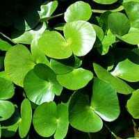 Regnellidium diphyllum 1
