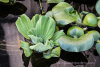Water Lettuce & Hyacinth