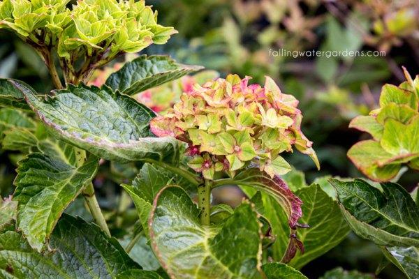 Hydrangea-Pistachio